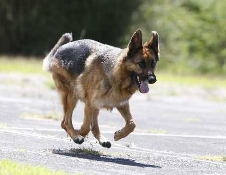 TOP DOG: Energetic Archie has a talented snout, sniffing out narcotics for the NZ Police.
