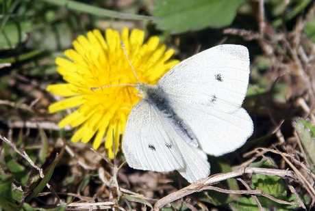 White butterflies can be pests for your garden. 