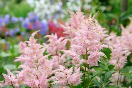 The 1994 Perennial of the Year, Astilbe Sprite, is a fighter, and a winner.