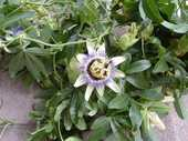 Hawke's Bay Regional Council is on the hunt for Blue passion flower (Passiflora caerulea).