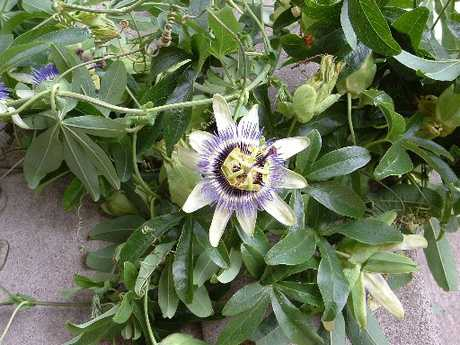 The Blue Passion flower can climb uup to 20m and can smother native plants.