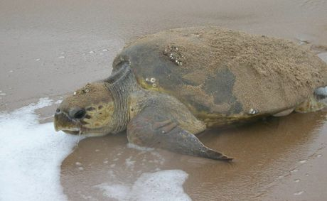 TURTLES&#39; TOUGH TIMES: Huge seas and tides washed away many of the loggerhead turtle nests.