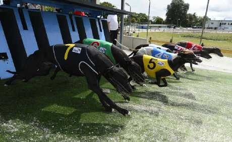Eventual winner Our Farside (No.7) jumps from the 407m start at the Grafton Greyhounds last week. Photo: Adam Hourigan
