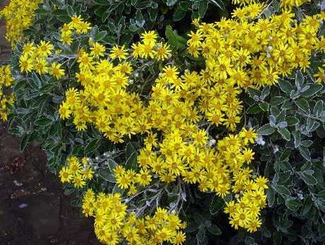 POPULAR: Brachyglottis Sunshine is a hardy form with grey leaves and a super abundance of yellow flowers.
