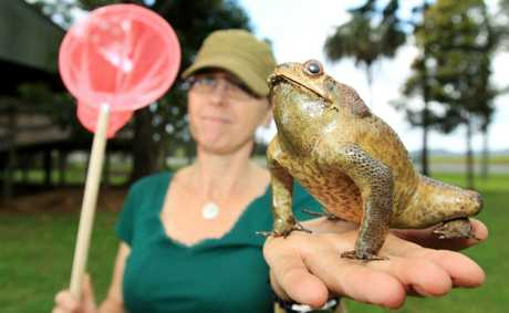 Pamela Gray the Tweed Shire Council Invasive Species Officer with a Cane Toad