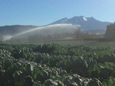 FINE SPRAY: Brussels sprouts are being irrigated at Ohakune market gardens. PHOTO/ SUPPLIED