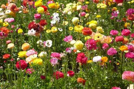 PRETTY AS A PICTURE: Ranunculus show off their range of bright colours.