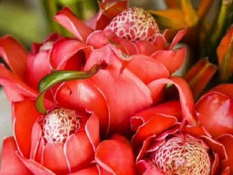 Red torch ginger flowers.