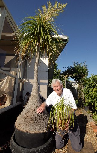 SOARING: Doug Newick holds a young ponytail palm as he kneels beside an older one in flower. PHOTO/ STUART MUNRO
