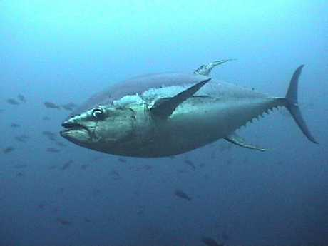 Yellowfin Tuna are disappearing from the Western Bay coastline