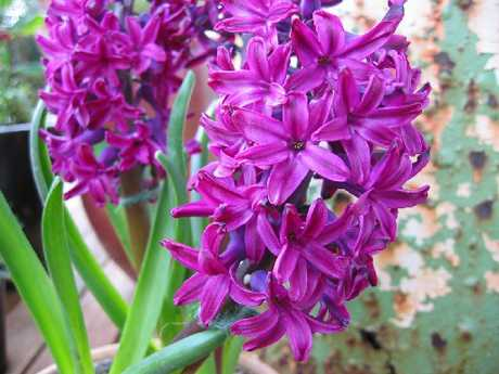 Time to plant some pretty flowers, like hyacinth