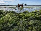 It looks disgusting, adds a rotting stench to an otherwise stunning walk along the harbour, and now sea lettuce is making kids sick.