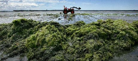 Sea lettuce has been particularly bad this year in Tauranga.