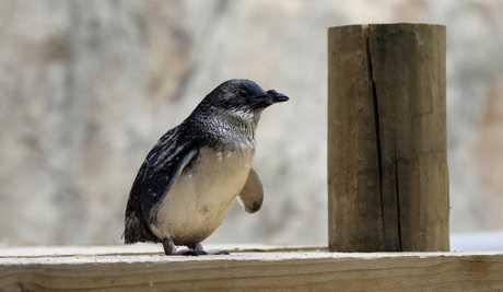 Water issues resolved for little blue penguins.