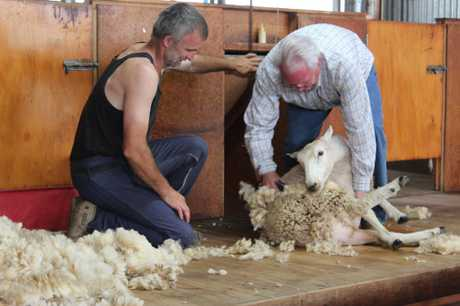 Visitor Paris Penfold from Idaho tries his hand at sheep shearing, with Okaihau shearer Grant Cook offering him tips.