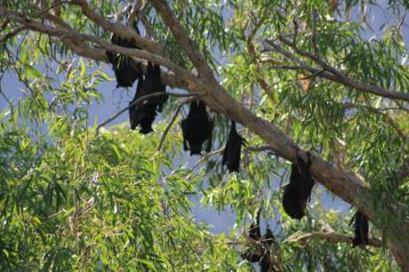 Flying foxes hang around in cool shade during the day