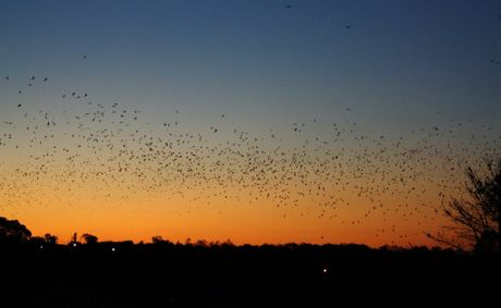 Scores of flying foxes scatter across the sky right on sunset.