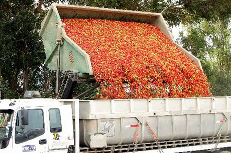 TOMATO SOURCE: Tomatoes fresh from the paddocks of a block off Morley Rd, Hastings.