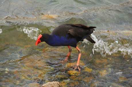 Linda Hall is amused by the pukeko