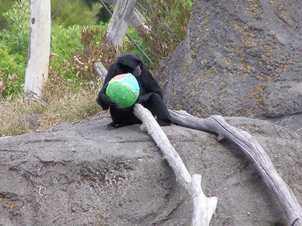 This Siamang Jasper wasn't silly, he made sure he sat on a rock away from everyone else to eat the goodies inside his egg.