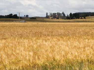 Questions have been raised around using the nutrient management computer tool Overseer for arable crops such as this Hawke's Bay barley.