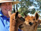 Double-H Alpacas near Kingsthorpe will open its doors to the public this week in celebration of National Alpaca Week.