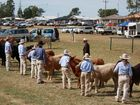 GREAT ENCOURAGEMENT: The line-up for the light weight steer class at the 2011 Biloela Show. Santos has offered an extra $900 for the winners of this year's champion and reserve champion led steer.