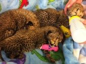 THREE newborn cheetah cubs are fighting for their lives after being born at a Christchurch zoo.