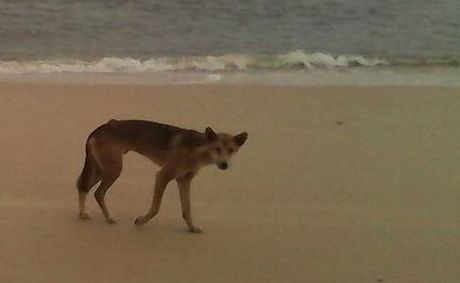 The sight of this dingo sparked concern from Fraser Island visitors and residents.