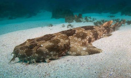 REVENGE: The wobbegong shark is protected, but that didn't stop one biting a fisherman.