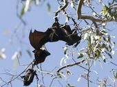 A COLONY of flying foxes in Kearneys Spring Historical Park is threatening the future of Toowoomba Live Steamers.