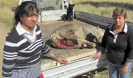HEARTBREAK: Jackie Cullen and Kim Costello with a sheep found mauled by a wild dog on the Costello family Thanes Creek property last week.