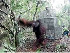 TASTE OF FREEDOM: Leo is released into the wild by Borneo Orangutan Survival Australia.