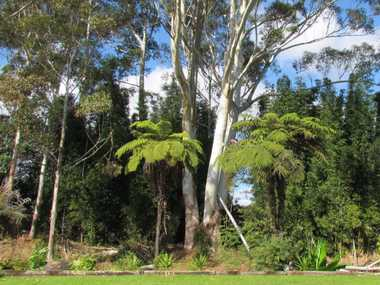 AXE FACTOR: Massive trees (above) can dwarf a house and threaten its inhabitants in high winds.