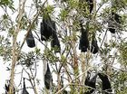 THE bats that have plagued parts of Maroochydore and Coolum may be allowed to stay put.