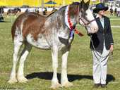 CHAMPION CLYDESDALE: Valhalla Melody, with Kath Pearce, was awarded the Champion Filly, Supreme Clydesdale and Supreme All Breeds Led Exhibit at the Clydesdales and Heavy Horse Field Days at Gatton recently.