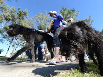 Dogs of all sizes, breeds and colours attend the RSPCA Million Paws Walk in Limestone Park on Sunday.