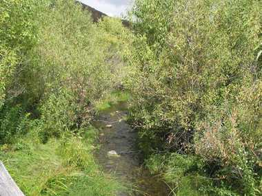 BANK PROBLEMS: Black willows can choke and divert rivers and creeks, causing further erosion.