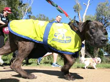 Hundreds of pooches, big and small,  turned out with their owners for the Million Paws Walk this year.   Photos CHRIS ISON