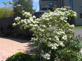 Some flowering ornamentals, like dogwoods, can grow unruly branches that spoil their shape.