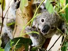 NEWS that a large natural koala refuge could be established within a 1000-hectare area of bushland has given hope to Ipswich conservationists.
