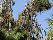 HANGING AROUND: Flying foxes have made their home at the botanic gardens in Emerald.