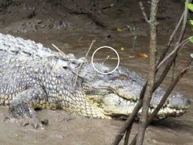 Crocodile with broken arrow protruding. Photo contributed