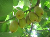 Gold kiwifruit volumes have taken a hit but hopes are high for the future.