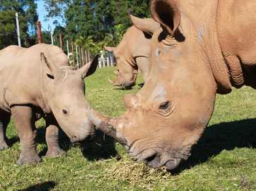 Baby rhino Mango joined Terri, Bindi and Robert Irwin for the announcement of a new male rhino and Mango's half brother.