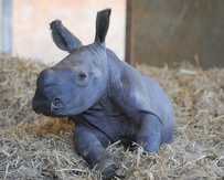 A male rhino was born at Australia Zoo on May 4.