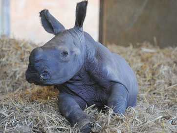Australia Zoo welcomed a newborn rhino calf on May 4.