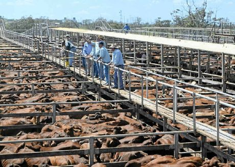 FINE STOCK: It was a big day at the Roma saleyards recently, when 12,000 cattle were yarded.