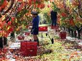 With only 35 export growers, persimmons remain a small commercial industry that supports global niche markets.