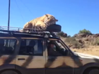 Tiger falls asleep on car roof
